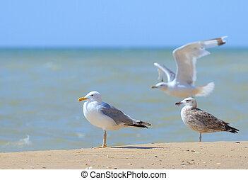 seagulls, dále, ta, moře