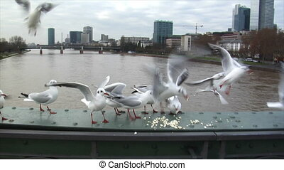 seagulls fight for feed slow motion