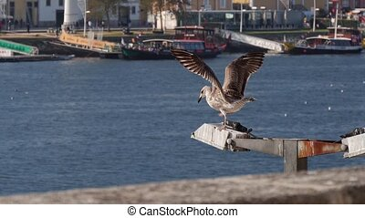 Seagulls fly up to the lantern and fight for a place, against the background of the Douro river on sunny day. Porto, Portugal.