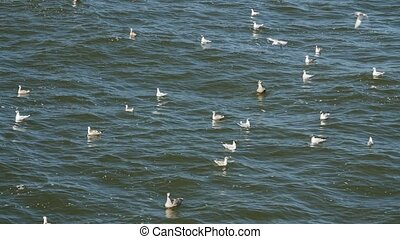 Seagulls flying and swimming in the Baltic sea.