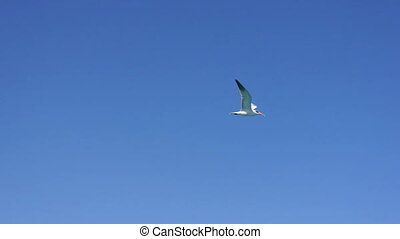 Seagulls flying in clear blue sky, close-up