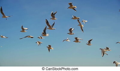 Seagulls Flying in the Air and Catch Food on Blue Sky Background. Slow Motion