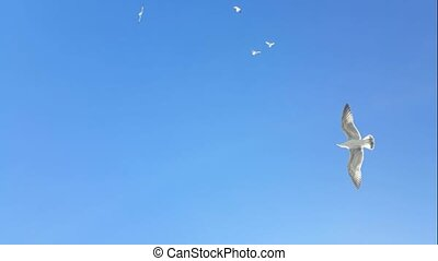 Birds soar in the sky with a strong wind. Gulls and dove.