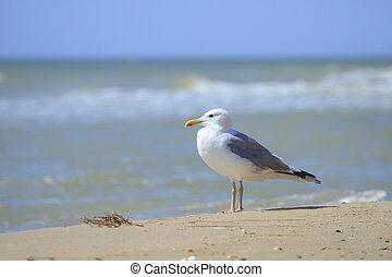 seagulls, hav