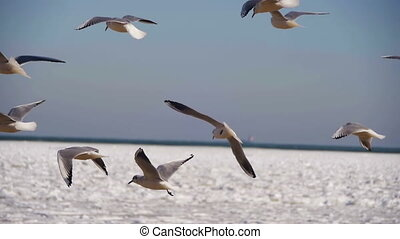 Seagulls Hover in the Air and Catch Food on Frozen...