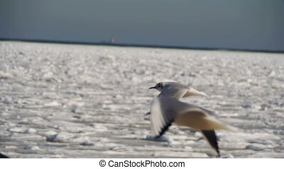 Seagulls Hover in the Air on Frozen Ice-Covered Sea Background. Slow Motion