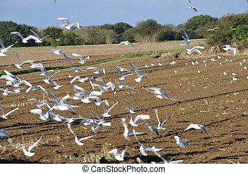 Seagulls in a field in Brittany