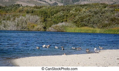 Seagulls in Andrew Molera State Park - Seagulls near the...