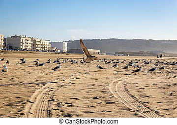 seagulls in the sand at Nazare beach, portugal