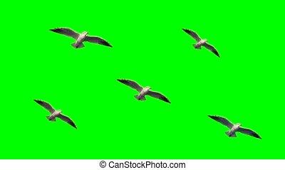 Seagulls in the sky on green screen