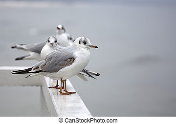 Seagulls in the wild