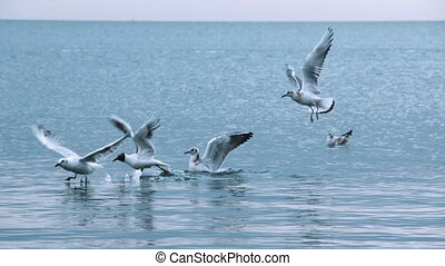 Seagulls landing and taking off from the sea while others...