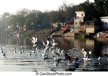 seagulls on a river at yamuna ghat in delhi during the early morning sunrise