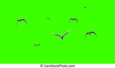 Seagulls on chroma key - Flying seagulls in slow motion on...