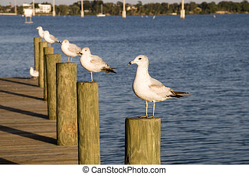 Seagulls on Indian River