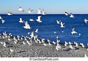 Seagulls on lake Ontario