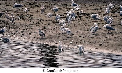 Seagulls On Shore In Evening - Lots of seagulls preening and...