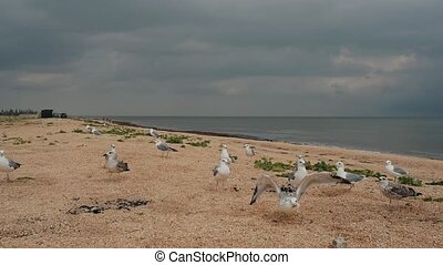 Seagulls on the beach eating bread and taking off in slow motion video. Dark and gloomy cold cloudy weather and sky.