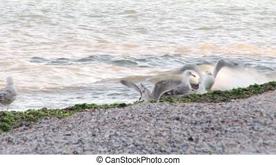Seagulls on the beach - White, grey or brown seagulls on a...