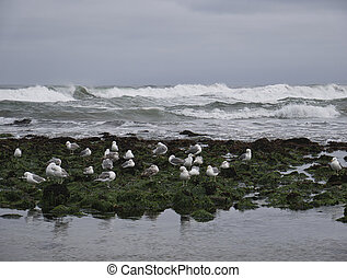 Seagulls on the sea grass in front the waves