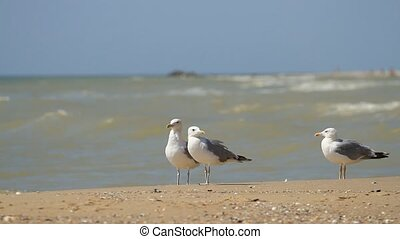 Seagulls on the sea - Seagulls walk in the sand on the sea
