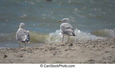 Seagulls on the seashore. Slow Motion