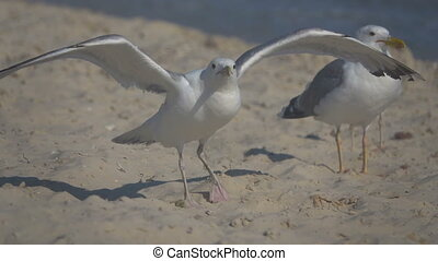 Seagulls on the seashore. Slow Motion - Gulls feed on the...