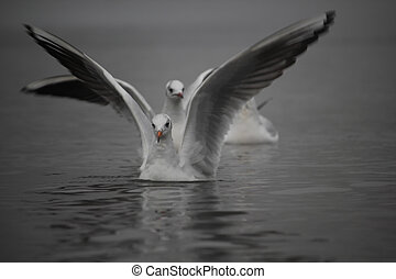 Seagulls on the water surface