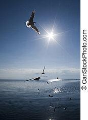 Seagulls over Ohrid Lake