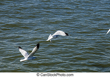 Seagulls over Water