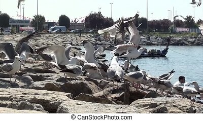 Seagulls quarrel with for food - Hungry seagulls are...
