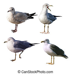 Seagulls Set - Set of four seagulls isolated on white...