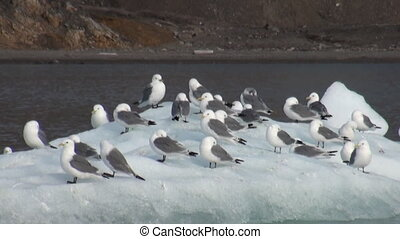 Seagulls sit and float on an iceberg in Arctic.