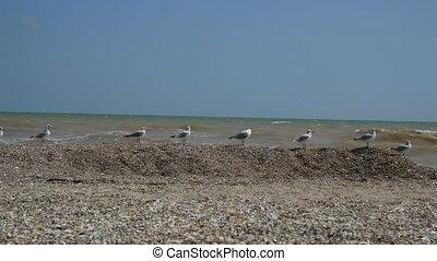 Seagulls sitting on the beach of Azov sea, Ukraine. Windy...
