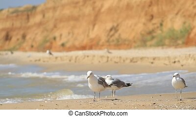 Seagulls walk on the seashore, Ukraine