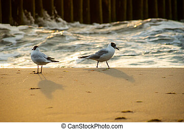 Seagulls walking on the sea sand in the evening sun rays against the sea waves