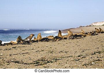 Seal at the beach - many seal at the beach