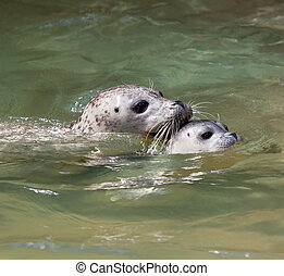 Seal baby swimming - Closeup of a mother and baby seal...
