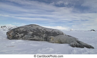Seal family resting on snow land. Antarctica.