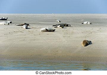 Many seal in Dutch wadden sea on a sandbank