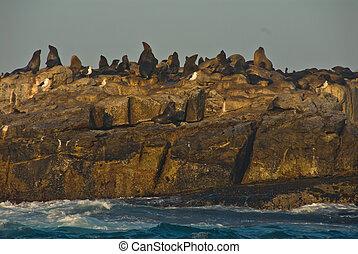 Seal Island/Geyser Rock, Gansbaai, Western Cape, South Africa