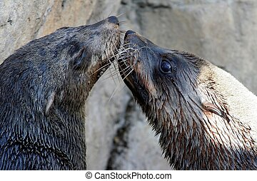 Seal Kiss - Cape Fur Seals with long whiskers kissing