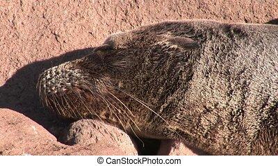 Seal lion relax on beach Galapagos. Cute mammals animals....