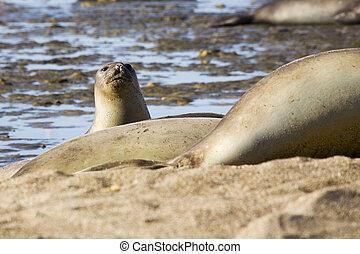 Seal - Many seal at the beach