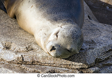 Seal on a rock - Seal resting on a rock