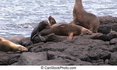 Seal on beach Galapagos. Cute mammals animals.