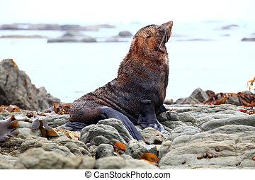seal on coast - wild seal at Seal colony Kaikoura New...