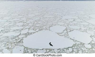 Seal on iceberg. Antarctica ocean. Aerial shot. - Seal On...