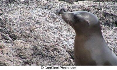 Seal on rocks beach Galapagos. Cute mammals animals. Amazing...