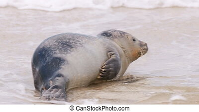 Seal on the Beach of Amrum in Germany